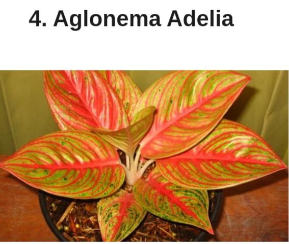 Ini 13 Jenis Bunga Aglaonema Detiksulawesi Com